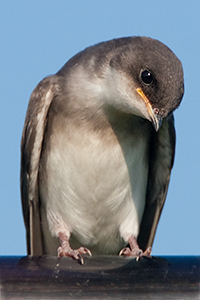 tree_swallow