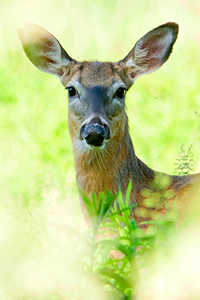 white_tailed_deer
